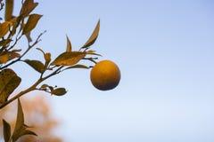 Accrocher orange biologique sur l'arbre photo stock