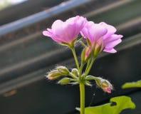 Accrocher rose lumineux de géranium Images libres de droits