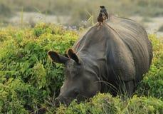 Accrocher une conduite de rhinocéros Photo libre de droits