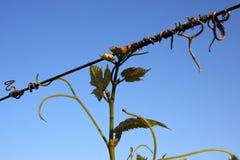 Accroissement de vigne Photos libres de droits