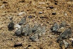 Accumulatie van crataegi van vlindersaporia op een landweg op een de zomerdag Stock Afbeeldingen