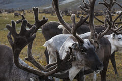 The accumulation of antlers in the herd. Stock Image