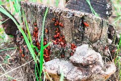 Accumulation of beetles on the tree stump. Royalty Free Stock Photo