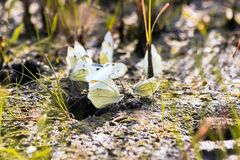 Butterfly cabbage butterfly Royalty Free Stock Photos