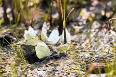 Butterfly cabbage butterfly Royalty Free Stock Photo