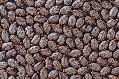 Seeds of Castor Bean Ricinus communis - Background. Accumulation of castor bean`s seeds ricinus communis on dark background, nature concept royalty free stock images