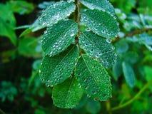 Accumulation de rosée de matin d'hiver sur les feuilles vertes fraîches photos stock