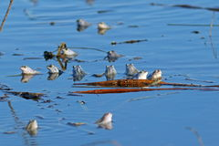 The accumulation of frogs in spring pond Royalty Free Stock Photo