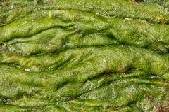 Accumulation of green algae Stock Photo