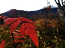Red leaves. The accumulation of red leaves of plants or grass form a beautiful and fresh autumnal background stock image