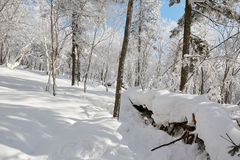 The accumulation of snow in the forest Stock Images