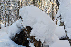The accumulation of snow in the winter forest Royalty Free Stock Image