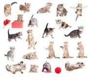 Accumulazione britannica dei gatti del bambino Immagini Stock