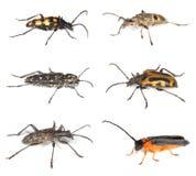 Accumulazione degli scarabei lunghi del corno isolati su bianco Fotografia Stock