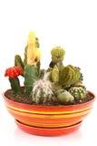 Accumulazione dei cactus Fotografia Stock Libera da Diritti
