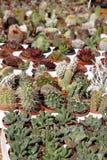 Accumulazione dei cactus Immagine Stock Libera da Diritti