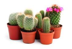 Accumulazione dei cactus in un POT Immagine Stock