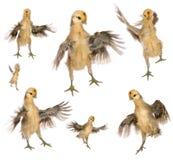 Accumulazione dei pulcini che provano a volare Immagine Stock Libera da Diritti