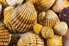 Accumulazione dei Seashells isolata Fotografia Stock