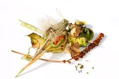 Accumulazione dei seedheads maturi Immagine Stock
