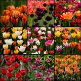 Accumulazione dei tulipani Fotografia Stock