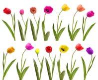 Accumulazione dei tulipani Fotografia Stock Libera da Diritti