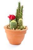 Accumulazione del cactus Fotografia Stock