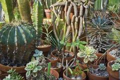 Accumulazione del cactus Immagine Stock Libera da Diritti