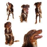 accumulazione del cane Fotografia Stock