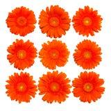 Accumulazione del fiore arancione isolato di gerberas Immagine Stock