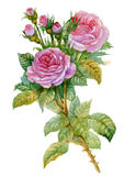 Accumulazione del fiore dell'acquerello: Rose Fotografia Stock Libera da Diritti