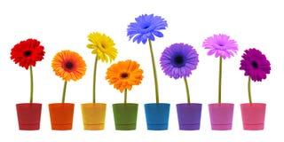 Accumulazione del fiore della margherita su priorità bassa bianca Immagini Stock Libere da Diritti