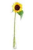 Accumulazione del fiore di Sun Fotografie Stock Libere da Diritti