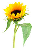 Accumulazione del fiore di Sun Fotografia Stock Libera da Diritti