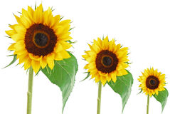 Accumulazione del fiore di Sun Fotografia Stock