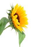 Accumulazione del fiore di Sun Immagini Stock