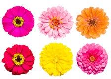 Accumulazione del fiore di zinnia Fotografie Stock