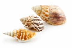 Accumulazione del pettine dei Seashells isolata su bianco Fotografie Stock