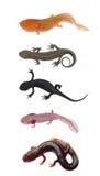 Accumulazione del salamander del Newt Immagine Stock Libera da Diritti