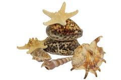 Accumulazione del Seashell isolata su priorità bassa bianca Fotografia Stock