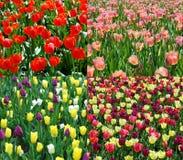 Accumulazione del tulipano della sorgente Fotografie Stock