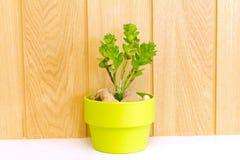 Accumulazione dell'albero della margherita in flowerpot verde. Fotografia Stock Libera da Diritti