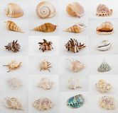 Accumulazione dell'assortimento del Seashell Immagine Stock
