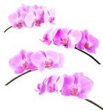 Accumulazione dell'orchidea Fotografia Stock