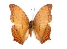 Accumulazione della farfalla Fotografia Stock
