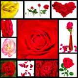 Accumulazione della Rosa Fotografia Stock Libera da Diritti