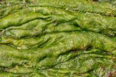 Accumulazione delle alghe verdi Fotografia Stock