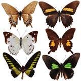 Accumulazione delle farfalle colorate Fotografia Stock