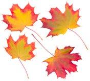 Accumulazione delle foglie di acero di autunno Immagini Stock Libere da Diritti