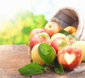 Accumulazione delle mele di recente selezionate Fotografia Stock